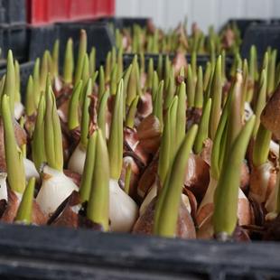 Tulpen-kweken