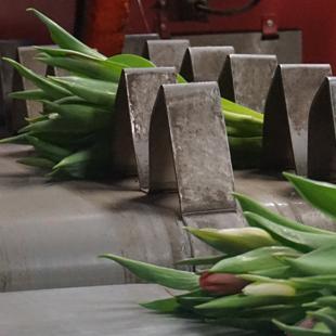 Tulpen-snijden